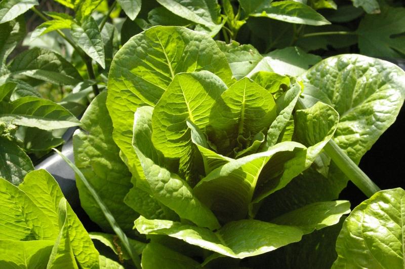 lettuce-08